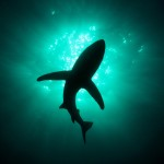 android wallpaper Shark-From-Below